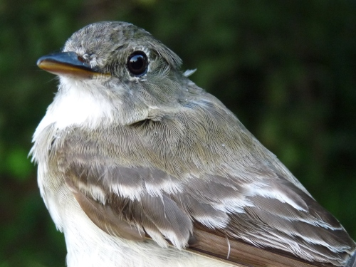 Traill's Flycatcher