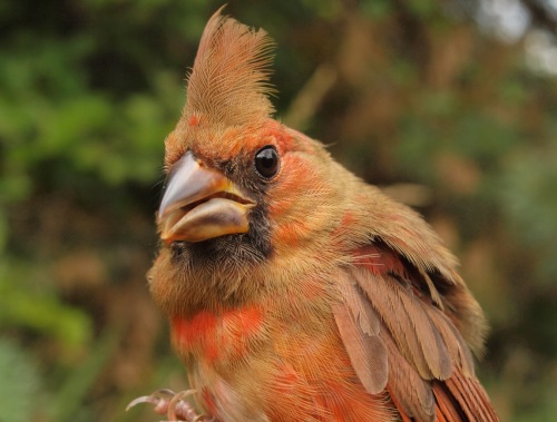 Juvenile Northern Cardinals are a regular sight at MBO in early fall. (Photo by Simon Duval)