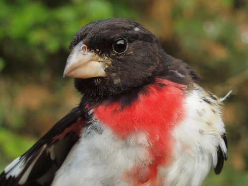 Rose-breasted Grosbeaks are often among the key species at MBO in early August. (Photo by Simon Duval)