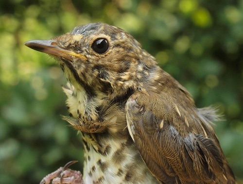 We often see a few adult Swainson's Thrushes at MBO in early August as molt migrants, but it's more unusual to see a very young juvenile such as this. (Photo by Simon Duval)