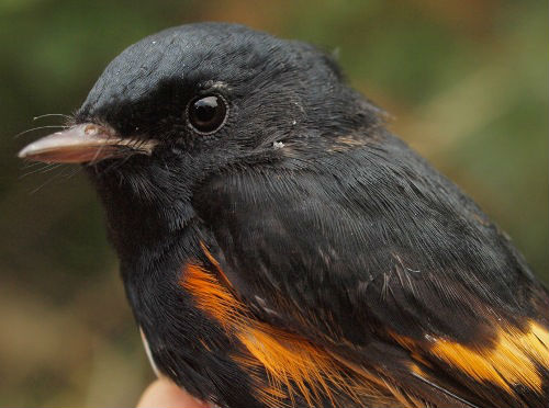 An after-hatch-year American Redstart, perhaps a local breeder, or maybe an early migrant through MBO. (Photo by Simon Duval)
