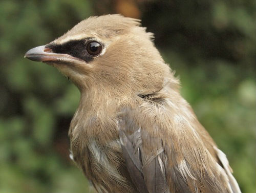 Some local birds were banded at MBO this week, including the juvenile Cedar Waxwing above, and adult Eastern Phoebe below. (Photos by Simon Duval)