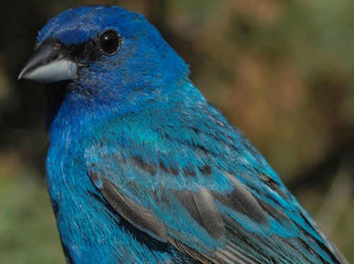 Soon Indigo Buntings will be molting - but for now we still have at least one spectacularly blue male at MBO. (Photo by Simon Duval)