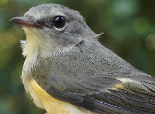 American Redstarts dominated the week at MBO, including this after-hatch-year female. (Photo by Simon Duval)