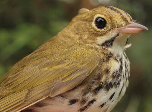 Ovenbirds were among the more common warblers at MBO this week. (Photo by Simon Duval)