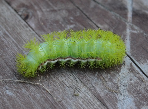 An impressive looking caterpillar of the io moth (Automeris io) (Photo by Simon Duval)