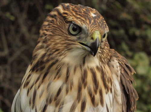 The star of the week was this hatch-year Cooper's Hawk, only the fourth one banded at MBO in ten years. (Photo by Simon Duval)