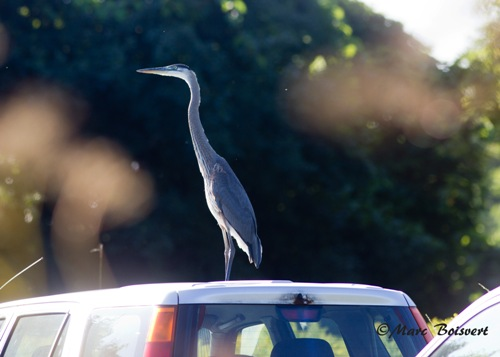 This Great Blue Heron took us by surprise this week when it landed on the roof of one of our volunteer's cars in the parking area! (Photo by Marc Bosivert)
