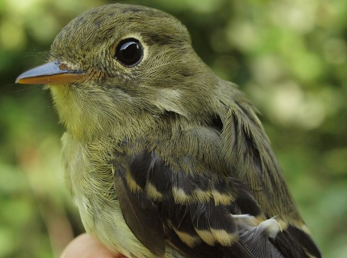 Yellow-bellied Flycatchers were banded at MBO this week in unprecedented numbers. (Photo by Simon Duval)
