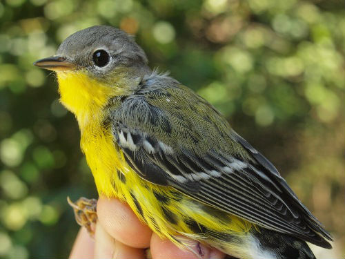 We are in the peak of Magnolia Warbler migration - and also have received the results of our analysis of blood-testing of individuals from the past couple of years. In brief, our data suggest that in many cases it is possible to reliably separate male and female hatch-year individuals by plumage ... details to follow once we crunch the numbers further. (Photo by Simon Duval)
