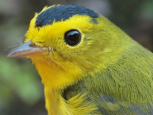 Week 5 is usually the peak of Wilson's Warbler migration, but only this one male was banded at MBO this week. (Photo by Simon Duval) -