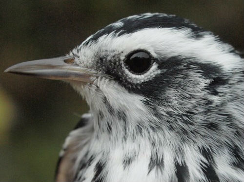 A close-up view of one of the Black-and-white Warblers banded this week. (Photo by Simon Duval)