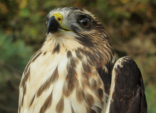 In terms of absolute numbers, Broad-winged Hawk is the most abundant raptor observed at MBO in most years, thanks to large flocks of them migrating overhead each September. However, none of us can recall ever seeing one perched on site - so catching this one was quite a surprise! It became the 115th species banded at MBO (Photo by Simon Duval)