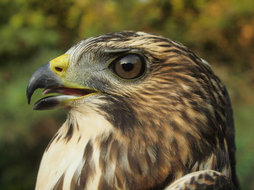 Another look at MBO's first Broad-winged Hawk. (Photo by Simon Duval)