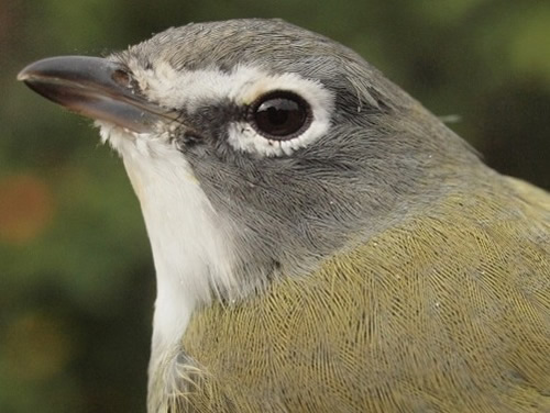 Blue-headed Vireos are the latest of the vireos to come through MBO, and are on the increase. (Photo by Simon Duval)