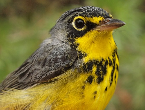 Canada Warblers are primarily an August migrant at MBO in fall, but we still got the one above this week, our 23rd of the season, a better total than over the past three years. (Photo by Simon Duval)