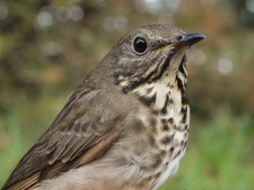 The first Gray-cheeked Thrush of the fall. (Photo by Simon Duval)