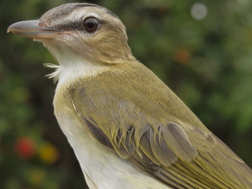 Meanwhile, Red-eyed Vireos have been at MBO since summer, but with large numbers moving through steadily throughout the season - we could well seta new fall season high next week. (Photo by Simon Duval)