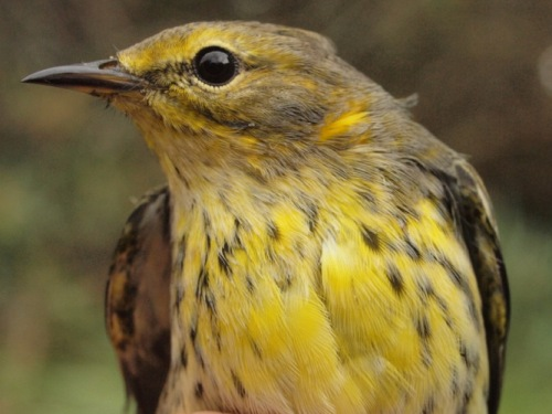 Although Cape May Warblers were abundant in parts of Quebec this summer (most notably the Saguenay region), numbers passing through MBO this fall have been rather modest, with only 10 individuals banded to date, compared to last year's record total of 45. (Photo by Simon Duval) -