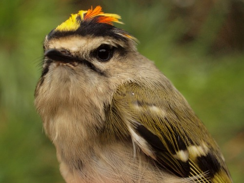 Everyone is always happy to see the return of the charismatic Golden-crowned Kinglets... (Photo by Simon Duval)