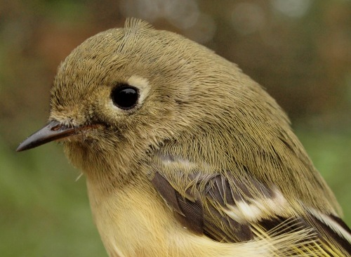 ..as well as their somewhat less flashy, but no less charming relative, the Ruby-crowned Kinglet. (Photo by Simon Duval)