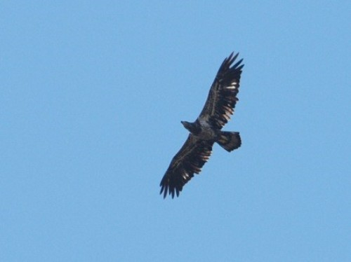 As much as the focus at MBO tends to be on songbirds, we do try to keep an eye on the skies as well, to document raptor migration. One of this week's highlights was this subadult II Bald Eagle. (Photo by Simon Duval)