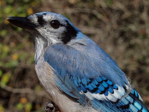 Blue Jays have been migrating in large numbers this fall, including a remarkable 23 banded this week alone. (Photo by Simon Duval)