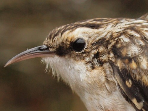 We always enjoy the opportunity to see Brown Creepers up close - but this was a special one, the 50,000th bird banded at MBO in our ten-year history. (Photo by Simon Duval)
