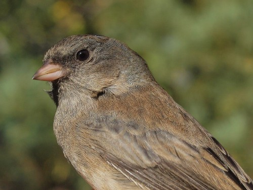 Although often thought of as a bird of winter, Slate-colored Juncos have already started to arrive at MBO. (Photo by Simon Duval)