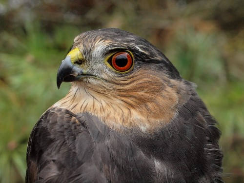 Another look at the adult Sharp-shinned Hawk. (Photo by Simon Duval)