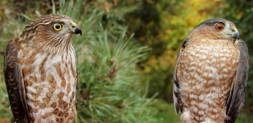 A nice comparison this week between a hatch-year (left) and after-second-year (right) Sharp-shinned Hawk. (Photo by Simon Duval)