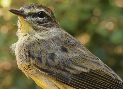 For comparison, here is a Western Palm Warbler, although admittedly a rather dull individual. (Photo by Simon Duval)