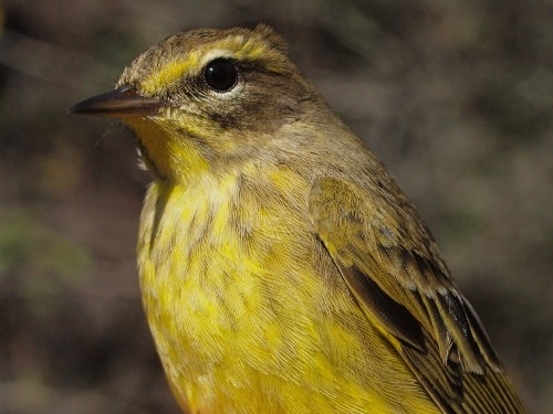 Sometimes there are doubts about whether a Palm Warbler is of the western or eastern (yellow) race, but when we get individuals such as this, they serve as a reminder of just how colourful Yellow Palm Warblers are. (Photo by Simon Duval)