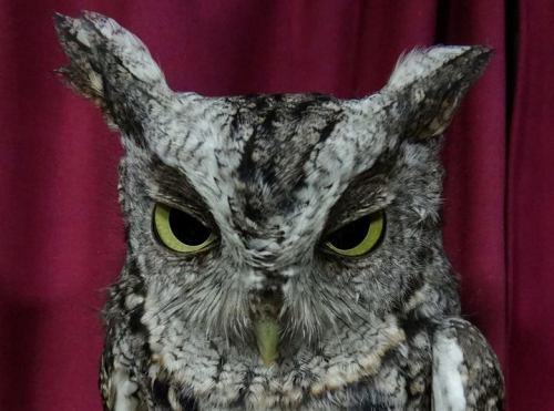 Although our focus is on Northern Saw-whet Owls, we are always happy to have the opportunity to band other species. This Eastern Screech-Owl was our first of this fall, and just our tenth individual over the years. (Photo by Simon Duval)