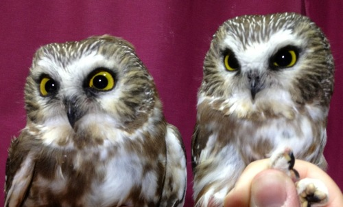 Two of the Northern Saw-whet Owls banded this week. (Photo by Simon Duval)