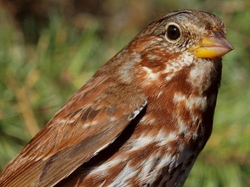 Fox Sparrows are always a sign that we are approaching the end of fall migration. (Photo by Simon Duval)