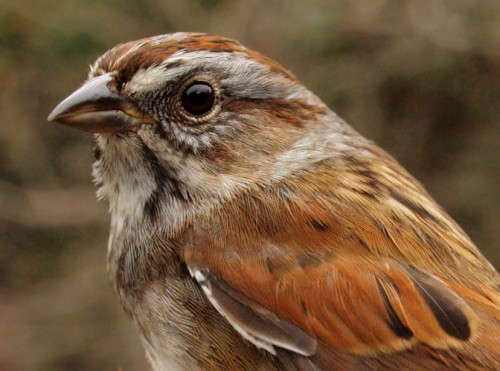 Swamp Sparrow is usually the fourth or fifth most abundant sparrow at MBO over the course of a fall season, but tends to go relatively unnoticed because their movement is relatively slow and steady throughout our monitoring period. This week there was a notable spike in numbers, with 12 individuals banded. (Photo by Simon Duval)