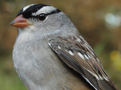 One week after we celebrated the last big push of warblers for the 2014 fall migration, this week it was sparrows that dominated, including five of the top ten species banded. One of those was five was White-crowned Sparrow. (Photo by Simon Duval) -