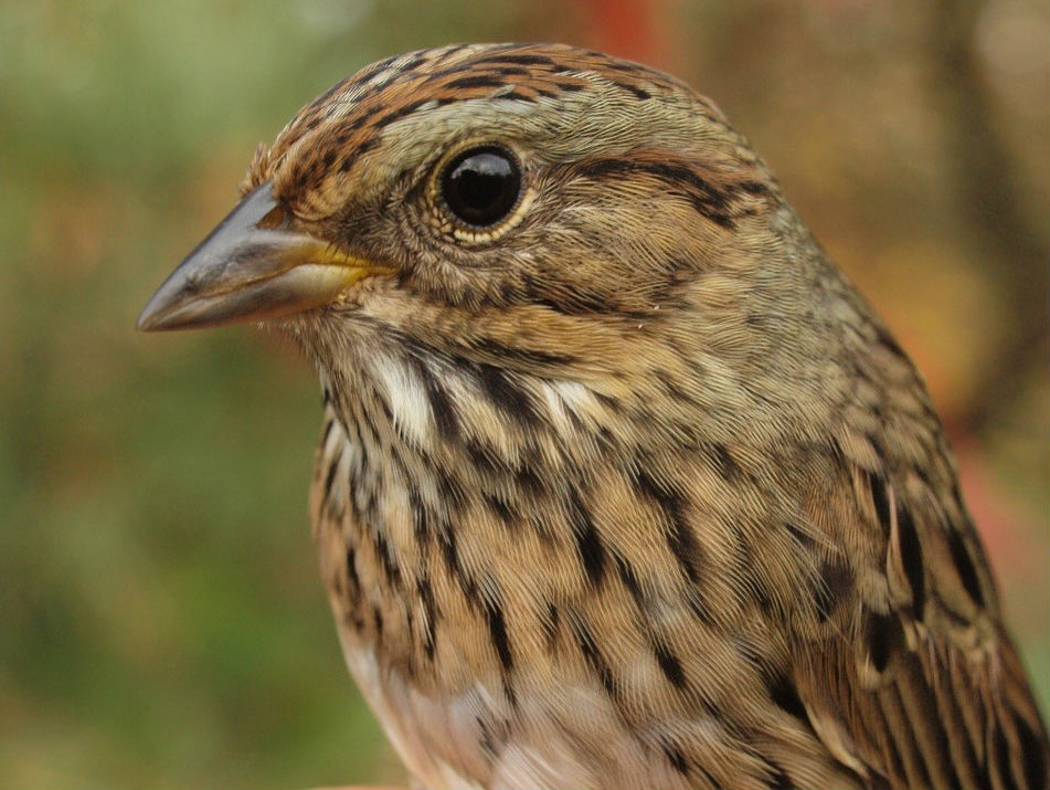 This was an unusually late Lincoln's Sparrow – only one other has previously been banded this late in fall (Photo by Simon Duval)