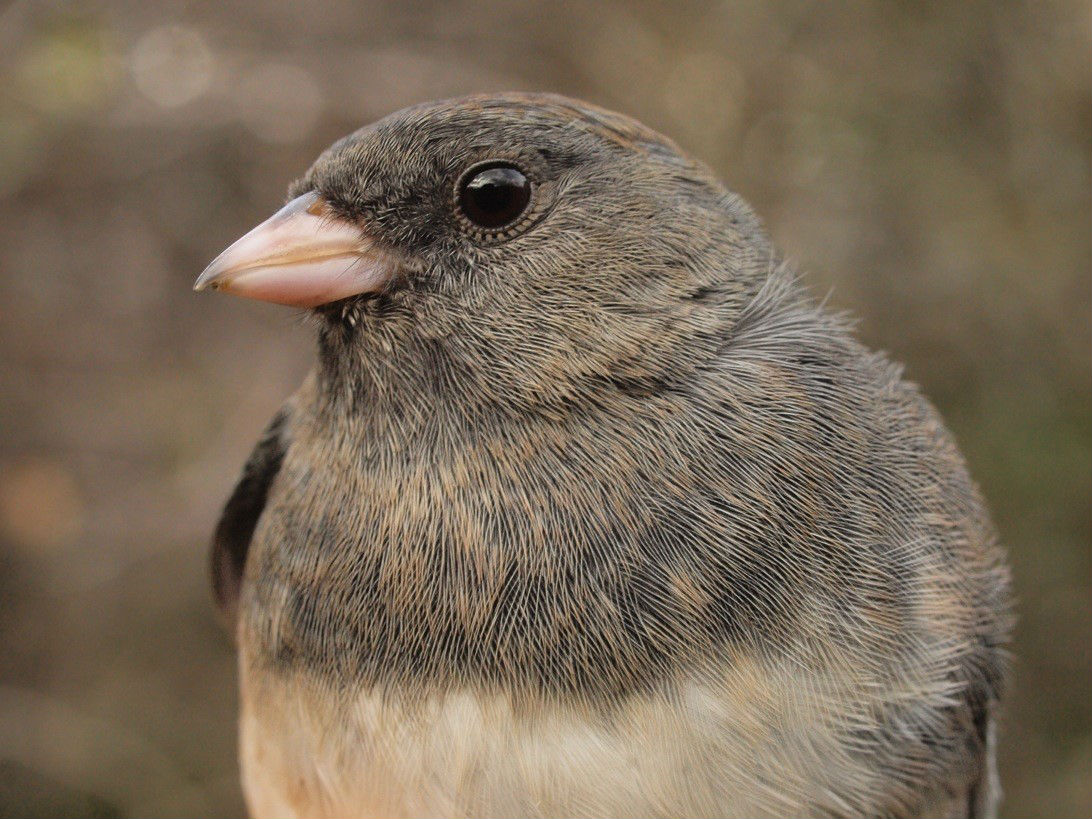 The 97 Slate-colored Juncos banded this week were the most in a one-week period since this time in 2010 (Photo by Simon Duval)