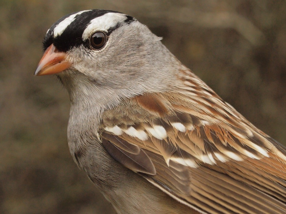 In contrast to White-throated Sparrow, White-crowned Sparrow numbers have been a bit below average this fall, although the total banded has rebounded somewhat from last year's record low (Photo by Simon Duval)