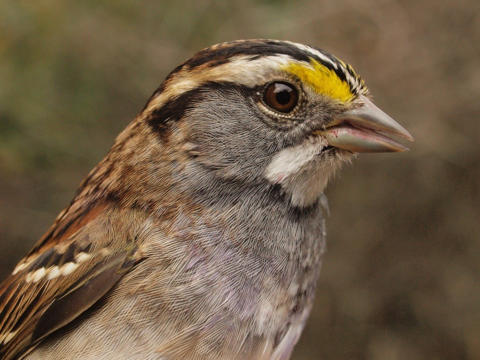 With another 62 individuals banded this week (over triple the previous long-term mean of 20 for week 12), White-throated Sparrow may be within reach of breaking the single season fall record of 506 banded, set in 2012 (Photo by Simon Duval)