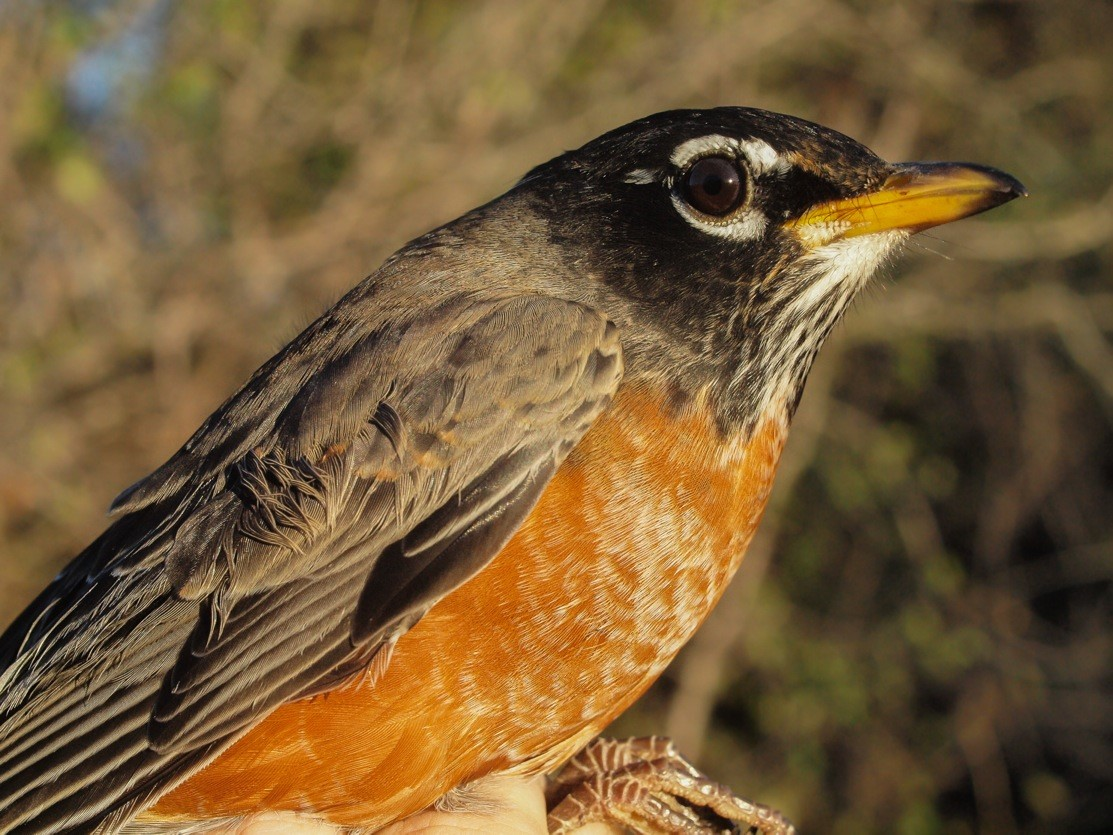 It was the week of the American Robin at MBO, with a record high mean daily count of 776 individuals (Photo by Simon Duval)