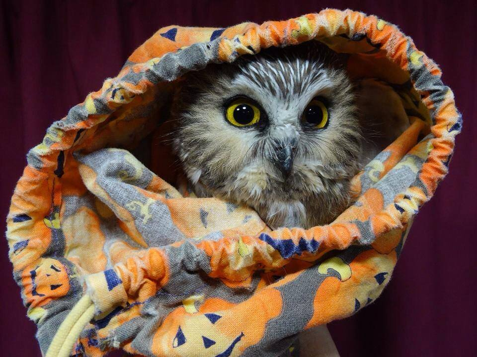 A Northern Saw-whet Owl peeking out of our Halloween-themed bird bag, even though we haven't quite reached that date yet (Photo by Simon Duval)