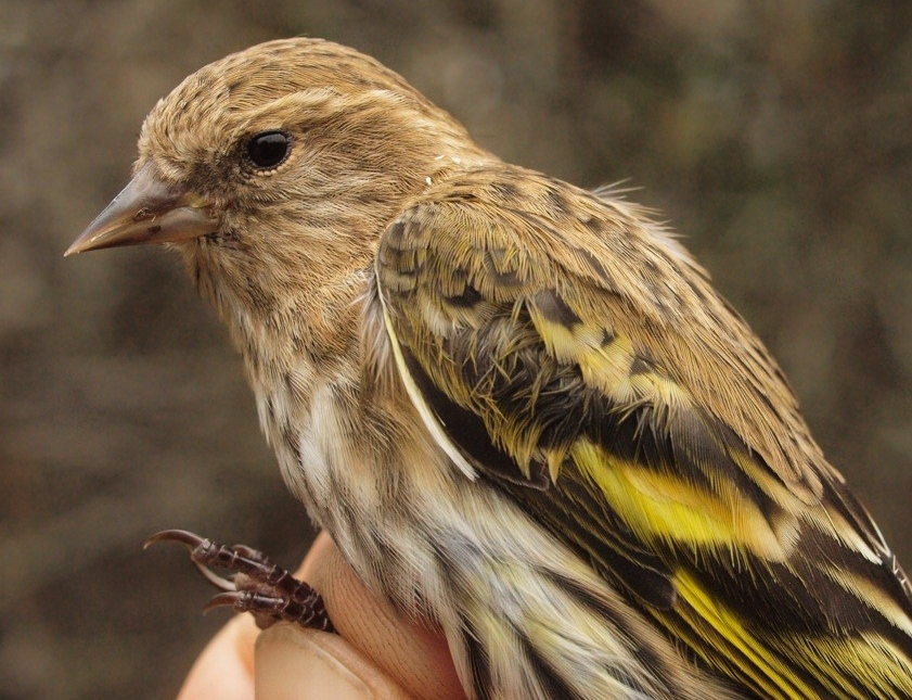 """One of the Pine Siskins banded this week, the final """"new"""" species of fall 2014 (Photo by Simon Duval)"""
