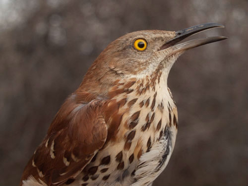 Much larger, but with some overall similarities in plumage pattern to the Fox Sparrow was this Brown Thrasher. (Photo by Simon Duval)