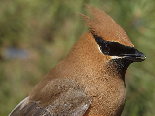 Cedar Waxwing is one of the most unpredictable migrants at McGill Bird Observatory, varying greatly in timing and abundance from year to year.  Despite that, their unprecedented dominance this week was a surprise!  (Photo by Simon Duval)