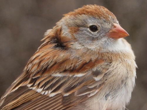 In a week of unusually abundant species, it was almost easy to overlook the significance of this bird – the first Field Sparrow banded at MBO since spring 2006, and only the fifth one overall.  (Photo by Simon Duval)