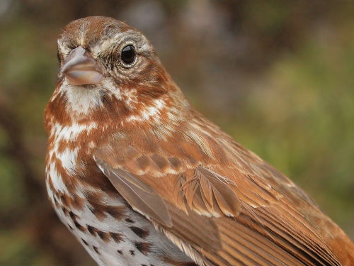 One of the near-record 28 Fox Sparrows banded this week. (Photo by Simon Duval)