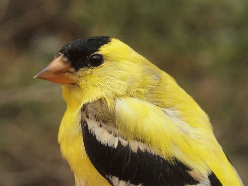 American Goldfinches are almost fully back to their yellow summer splendour.  (Photo by Simon Duval)